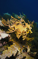 me112. Leafy Sea Dragon (Phycodurus eques). South Australia, Pacific Ocean..Photo Copyright © Brandon Cole. All rights reserved worldwide.  www.brandoncole.com..This photo is NOT free. It is NOT in the public domain. This photo is a Copyrighted Work, registered with the US Copyright Office. .Rights to reproduction of photograph granted only upon payment in full of agreed upon licensing fee. Any use of this photo prior to such payment is an infringement of copyright and punishable by fines up to  $150,000 USD...Brandon Cole.MARINE PHOTOGRAPHY.http://www.brandoncole.com.email: brandoncole@msn.com.4917 N. Boeing Rd..Spokane Valley, WA  99206  USA.tel: 509-535-3489