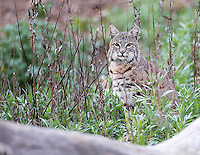 Male bobcat photographed in Pinnacles National Park.
