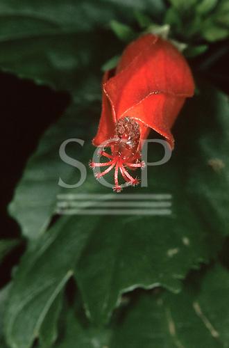 Sao Vicente, Brazil. Red flower with protruding stamens in Mata Atlantica.