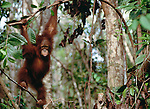 Young Bornean orangutans spend a considerable amount of time in play.  So engaged, a little red imp hangs by its arms from a tree in Tanjung Puting National Park, Borneo, Indonesia.