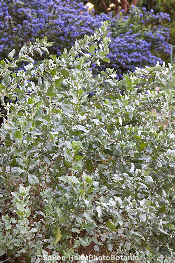 Silver gray foliage shrub Salt Bush (Atriplex lentiformis brewerii) in drought tolerant Southern California garden with native plants