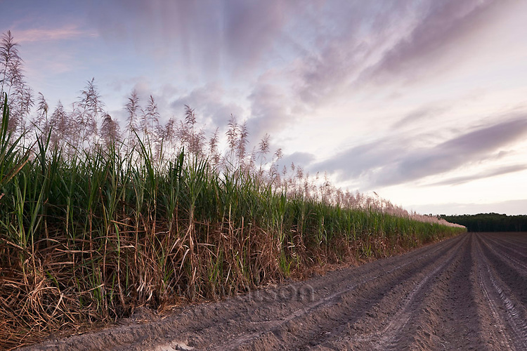 Cane field at twilight.  Mossman, Queensland, Australia