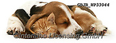 Kim, ANIMALS, REALISTISCHE TIERE, ANIMALES REALISTICOS, fondless, photos,+Ginger kitten asleep under the ear of a sleeping Basset pup.,sleepy, sleeping, asleep, tired, nap, naps, napping, pooped, doz+e, dozing, dozy, kip, kipping, ginger, kitten, under, the, ear, of, basset, pup, cats, pets, animals, dogs, shorthair, kitten+s, cute, adorable, lovely,lovable, puppies, pups++,GBJBWP33044,#a#, EVERYDAY