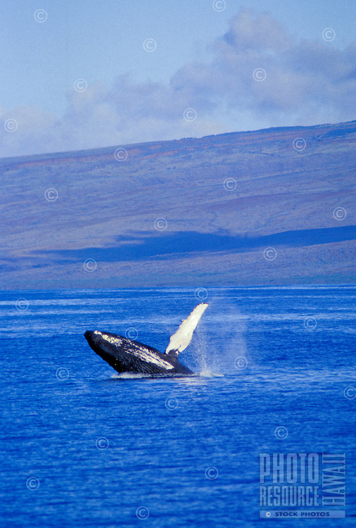 Humpback whale breaches the waters off the island of Maui, Hawaii