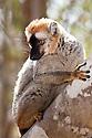 Red fronted brown lemur {Lemur fulvus rufus} looking down from tree, Kirindy forest, West Madagascar.