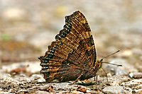Großer Fuchs, saugt Mineralien, Nymphalis polychloros, large tortoiseshell, blackleg tortoiseshell, La Grande tortue