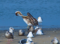 California brown pelican preening on the shores at Moss Landing California.