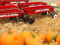 Red Radio Flyer wagons and pumpkins, orange, green and white  - The Pumpkin Depot in Half Moon Bay is ready to fill jack-o'-lantern dreams.  Just ignore the rooster and it will ignore you.