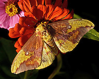 Imperial Moth (Eacles imperialis). It is a member of the saturniidae, or silk moth, family, and one of the largest and most beautiful moths in Texas.