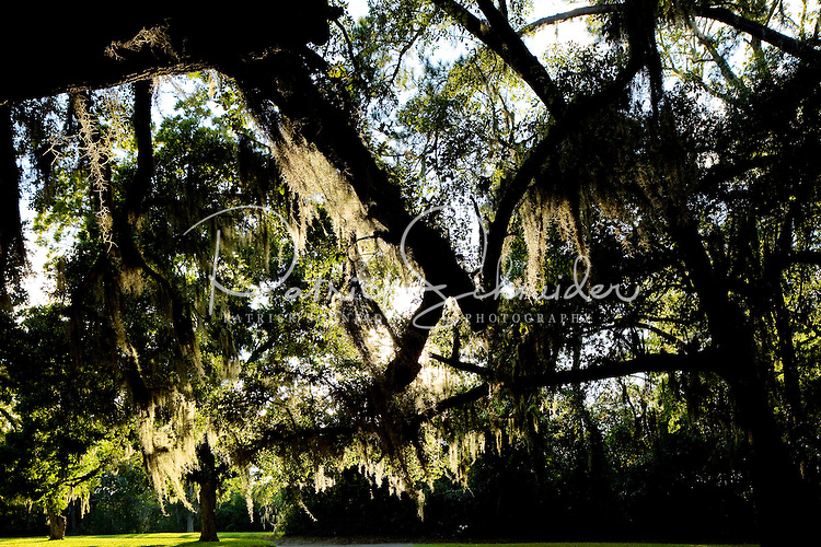 Photo of beautiful oak trees covered in Spanish moss in Charleston, SC,