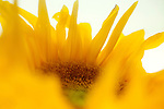 Sunflower - close up