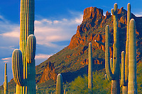 Saguaros near Alamo Wash<br />