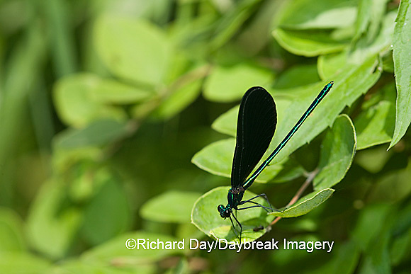 06014-001.15 Ebony Jewelwing (Calopteryx maculata) male, Lawrence Co. IL