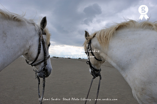 Two camargue horses on beach (Licence this image exclusively with Getty: http://www.gettyimages.com/detail/106905618 )