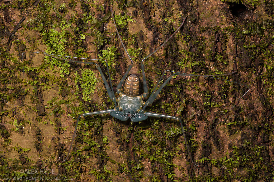 Sequence (5 of 5) of Tailless Whipscorpion {Amblypygi} Shedding its skin, showing its newly revealed exoskeleton dakening as it hardens. Central Caribbean foothills, Costa Rica. May.