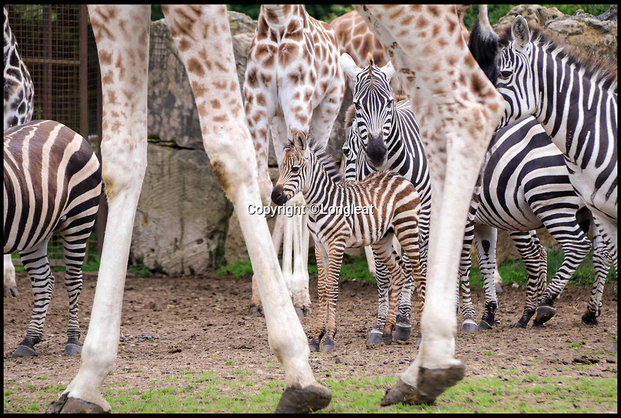 """BNPS.co.uk (01202 558833)<br /> Pic: IanTurner/BNPS<br /> <br /> Lucky Stripes...<br /> <br /> Longleat Safari park in Wiltshire is celebrating the arrival of not one but four baby Zebra's this summer.<br /> <br /> Keepers at Longleat Safari Park are celebrating a baby boom among their herd of zebras.<br /> <br /> Four foals have arrived in the last month at the Wiltshire attraction with two more due to arrive in the coming days.<br /> <br /> The foals are born following a year-long pregnancy, weighing just over 15kgs at birth.<br /> <br /> Ryan Hockley, of Longleat, said: """"This is definitely one of the best years ever here at Longleat for the sheer number of foals being born."""""""