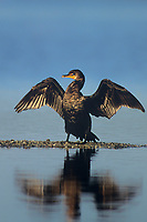 512017012 a wild double-crested cormorant phalacrocorax auritus stands on a small rocky sandbar drying its wings in ding darling national wildlife refuge in south florida