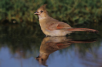 Northern Cardinal, Cardinalis cardinalis, young bathing, Lake Corpus Christi, Texas, USA