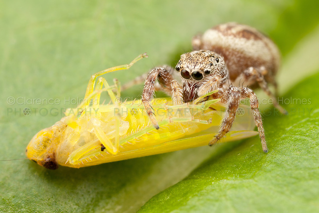 A Jumping Spider (Pelegrina proterva) - Female stands on a leaf with its newly caught leafhopper prey, West Harrison, Westchester County, New York