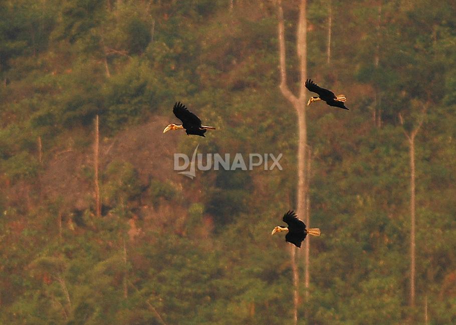 Wreathed Hornbills (Aceros undulatos) patrol the forest canopy near Lake Tebo.