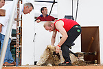 Denis O'Sullivan from Bonane in action at the All Ireland Sheep Shearing finals in Roscommon at the weekend.