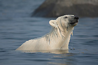 Polar bear, Ursus maritimus, sniffing the air while trying to stay cool in the summer sun near Churchill, Hudson Bay, Manitoba, Canada, Canadian Arctic