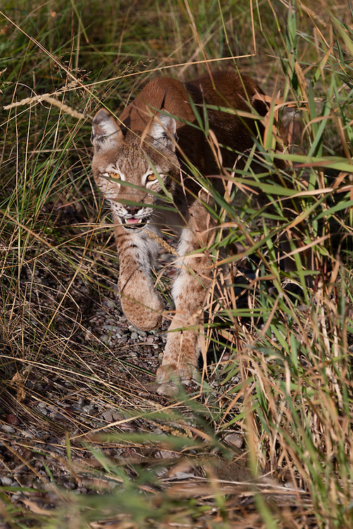 Siberian Lynx stalking through some tall grass - CA