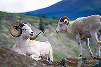 Dall Sheep Rams (Ovis montana dalli), Northern BC, British Columbia, Canada