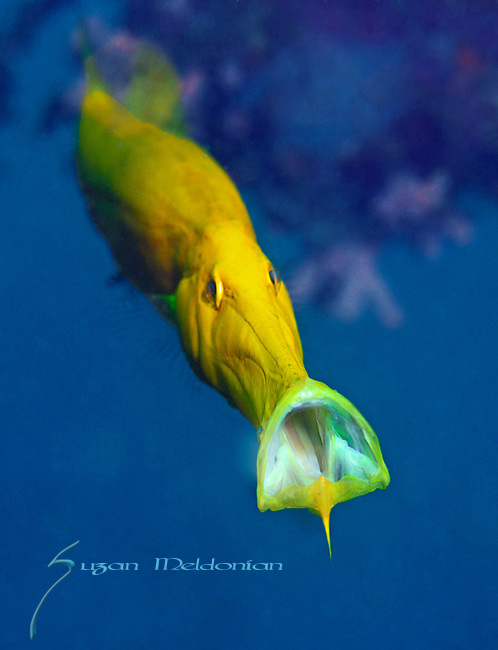 Trumpetfish playing his horn, Aulostomus chinensis