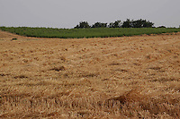 Campo di grano. Field of grain.