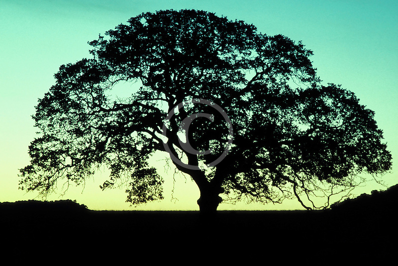 California, Oak Tree at dawn