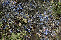 Gewöhnliche Schlehe, Schwarzdorn, Früchte, Beeren, Prunus spinosa, Blackthorn, Sloe, fruit, Epine noire, Prunellier