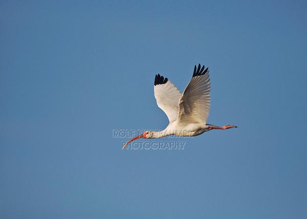 White Ibis (Eudocimus albus), adult in flight, Sinton, Corpus Christi, Coastal Bend, Texas, USA