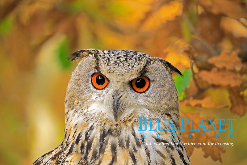 Siberian Eagle Owl (Bubo bubo sibiricus), adult, animal portrait, Slovakia, Europe
