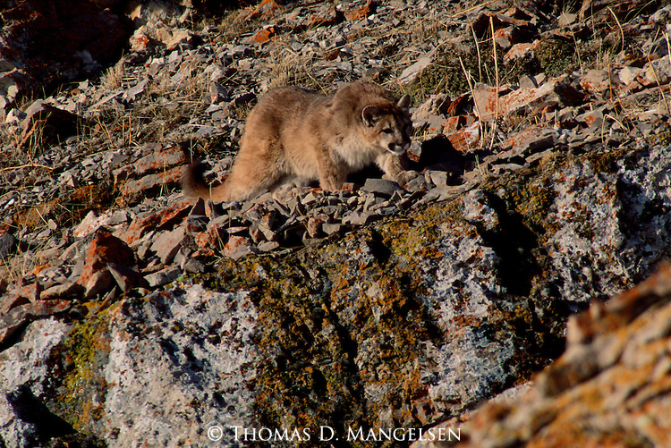 Mountain lion cub stalking birds on Miller Butte.