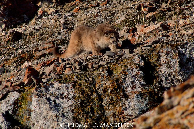 Mountain lion cub stalking birds on Miller Butte.