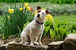 Emma- Jack Russel Terrier