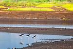 Hawaiian Stilts line up in Kanuimanu Ponds, Keālia Pond National Wildlife Refuge, Maui, Hawaii.