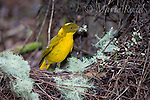 Golden Bowerbird (Prionodura newtoniana), male bringing flowers to decorate its bower, Atherton Tableland, Queensland, Australia.