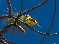 The Western Tanager at the Kaibab National Forest, Arizona