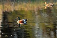 Northern Shoveler (Anas clypeata) - dabbling duck<br /> Ear Falls<br /> Ontario<br /> Canada