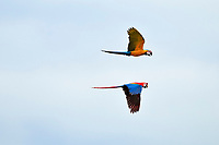 scarlet macaw, Ara macao, and blue-and-yellow macaw, Ara ararauna, flying, Tambopata National Reserve, Madre de Dios Region, Tambopata Province, Peru, Amazonia