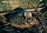 MC66-004z  Arctic Tern - fluffy young chick 2 day old in nest - Machias Seal Island, Bay of Fundy - Sterna paradisaea