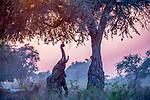 African bush elephant (Loxodonta africana) feeds on apple-ring acacia (Faidherbia albida), Mana Pools National Park, Zimbabwe<br /> <br /> Canon EOS-1D X Mark II, EF100-400mm f/4.5-5.6L IS II USM lens, f/6.3 for 1/1250 second, ISO 1250
