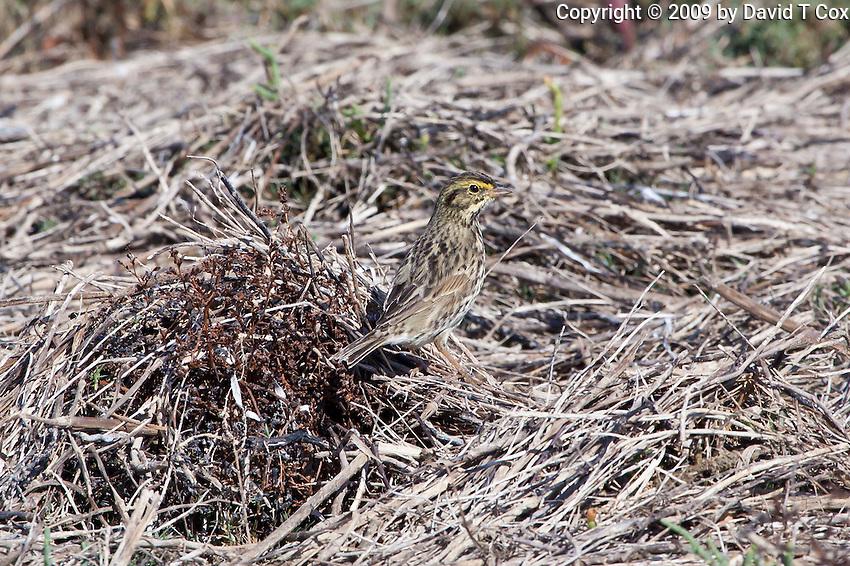 Savannah Sparrow, Guerrero Negro, Baja Sur, Mexico