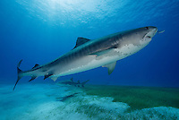 RW4215-D. Tiger Shark (Galeocerdo cuvier), a large and dangerous species growing to at least 18 feet long; feeds on wide variety of things- sea turtles, fish, invertebrates, marine mammals; found in shallow coastal waters as well as the deep open ocean. Bahamas, Atlantic Ocean.<br /> Photo Copyright &copy; Brandon Cole. All rights reserved worldwide.  www.brandoncole.com