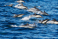 Long-beaked common dolphin (Delphinus capensis) pod in the calm waters off Isla del Carmen in the Gulf of California (Sea of Cortez), Baja California Sur, Mexico, Pacific Ocean