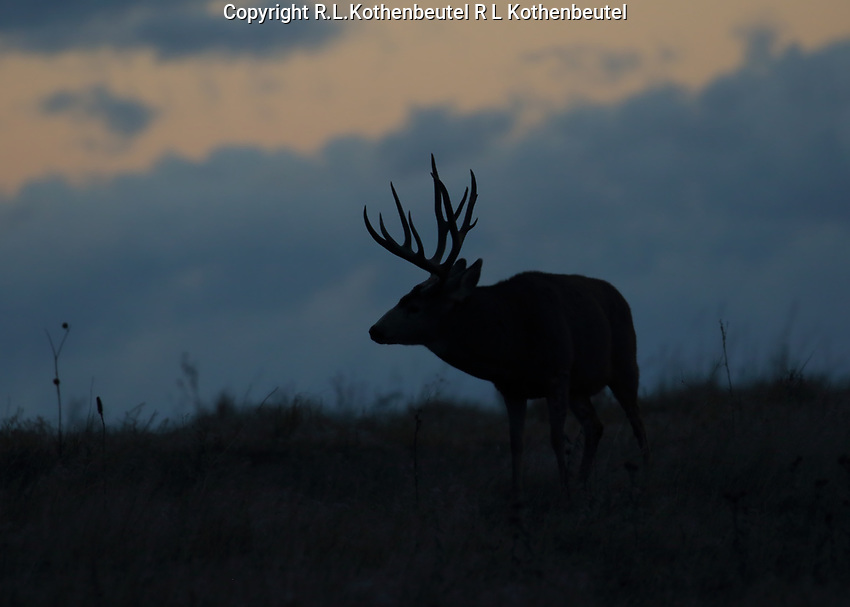 Predawn silouett of a mule deer buck during the autumn rut<br />