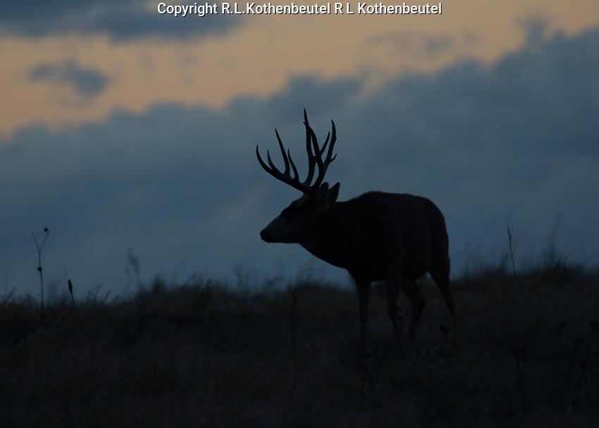 Predawn silouett of a mule deer buck during the autumn rut<br /> 11/17/17