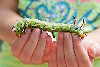 Regal Moth Caterpillar  (Citheronia regalis), also called the royal walnut moth<br /> walking along a kid's fingertips.  Selective focus on the caterpillar's head.